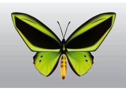 一只绿色蝴蝶