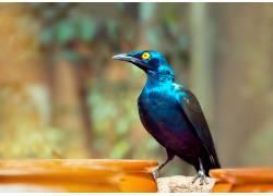 一只蓝色羽毛的尖嘴鸟