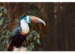 树枝上的巨嘴鸟摄影
