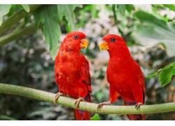 两只红色的美丽鹦鹉