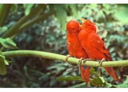 两只亲密的红色鹦鹉