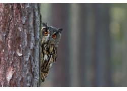 树后窥视的猫头鹰