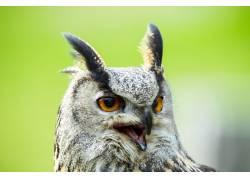 可怕的猫头鹰