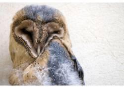 睡觉的猫头鹰