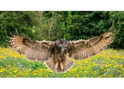 翱翔的猫头鹰