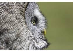 猫头鹰摄影
