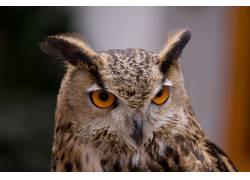 可爱猫头鹰摄影