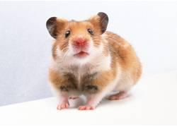 白胡须的鼠类摄影