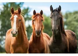 三匹高大的骏马