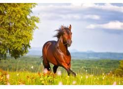 草地上骏马摄影