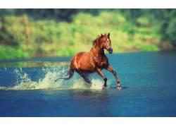 河中奔跑的骏马摄影