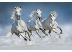 三匹奔跑的白色骏马