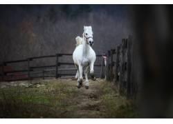 栅栏旁的白色骏马