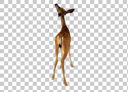 鹿动物骆驼股票摄影,鹿PNG剪贴画鹿茸,哺乳动物,动物,摄影,动物群图片